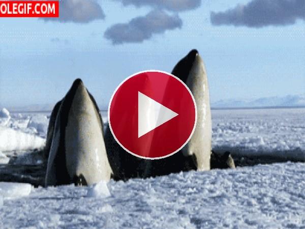 Mira a estas orcas asomando la cabeza