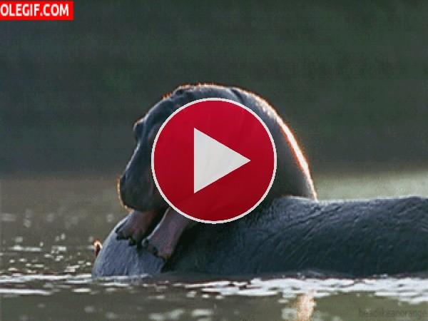 GIF: Mira a este pequeño hipopótamo a lomos de su madre