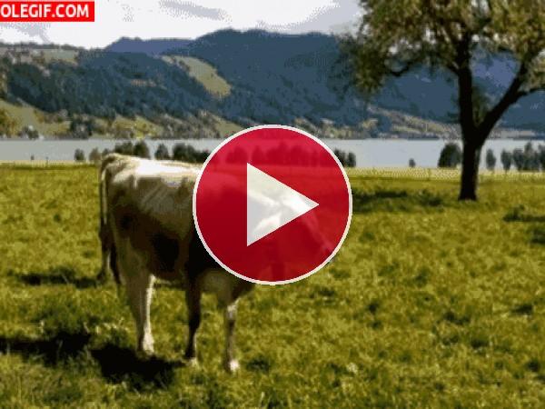 GIF: Esta vaca no para de rumiar