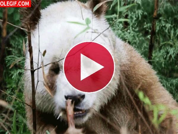 Mira a este curioso panda marrón