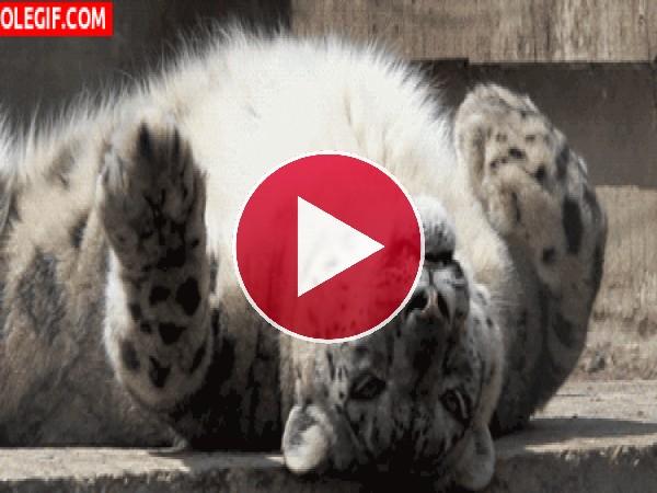 Este leopardo tiene sed