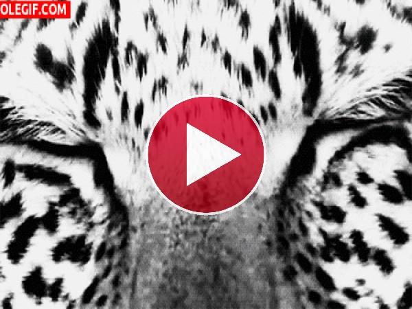 GIF: La mirada del leopardo