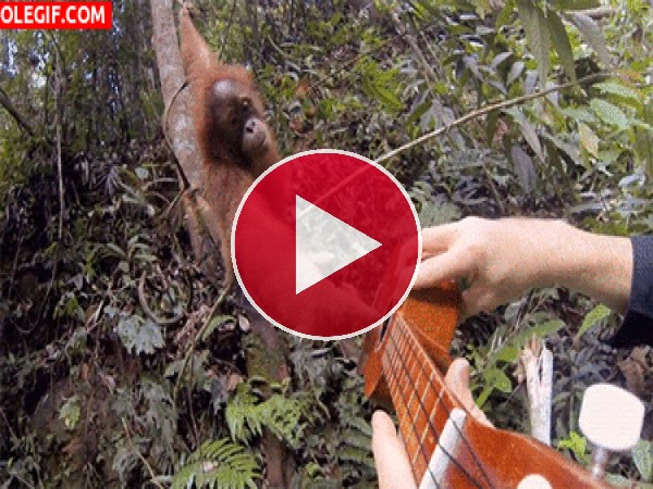 GIF: Mira a este orangután tocando la guitarra