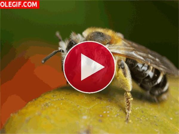 Mira a esta abeja recolectando nectar
