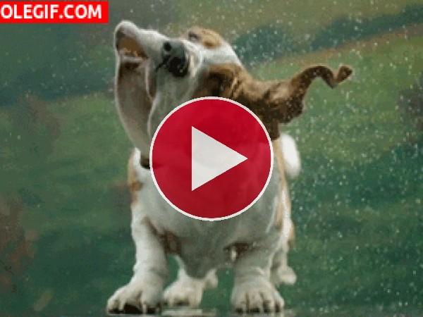 GIF: Este Basset hound se acaba de dar un chapuzón