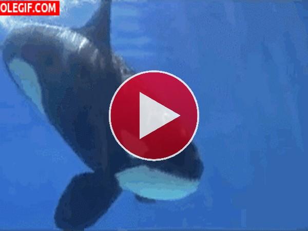 Mira a esta orca jugando con el niño