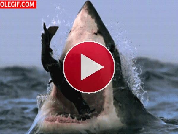 Este tiburón está hambriento