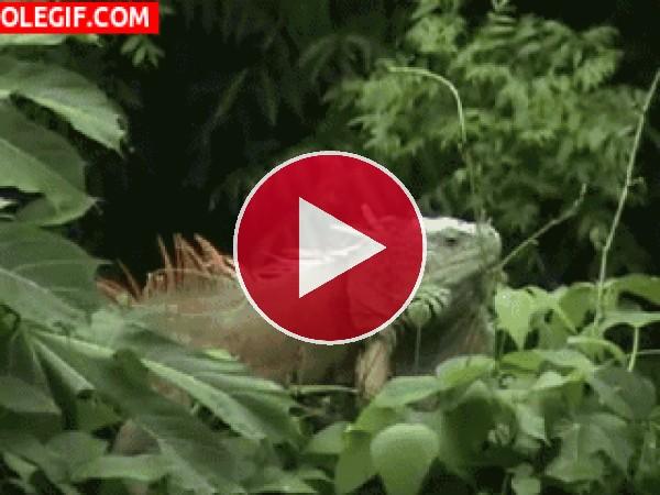 GIF: Mira a esta iguana en el árbol