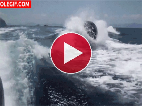 Orcas viajando por el mar