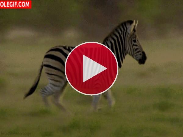 GIF: Mira cómo corre la cebra