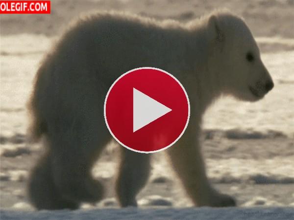 Mira cómo camina el pequeño oso polar