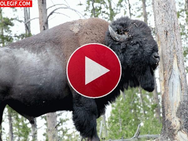 GIF: A este bisonte le gusta la corteza de árbol