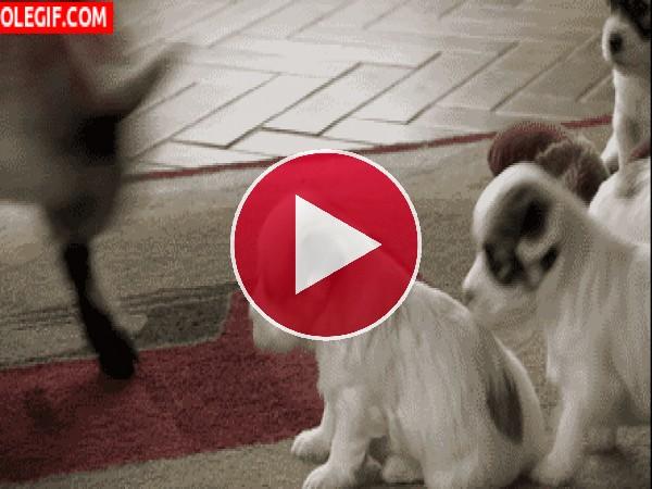 Mira a esta cabritilla jugando con los cachorros