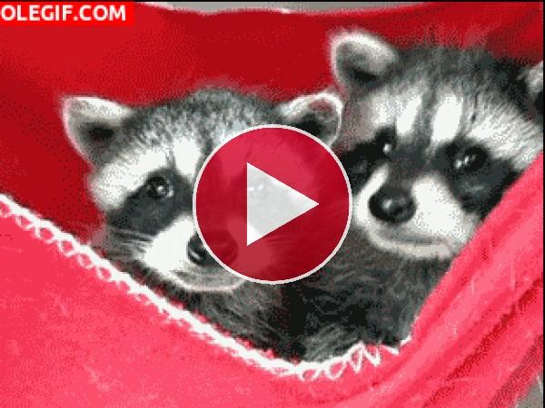 Mira a estos inquietos mapaches
