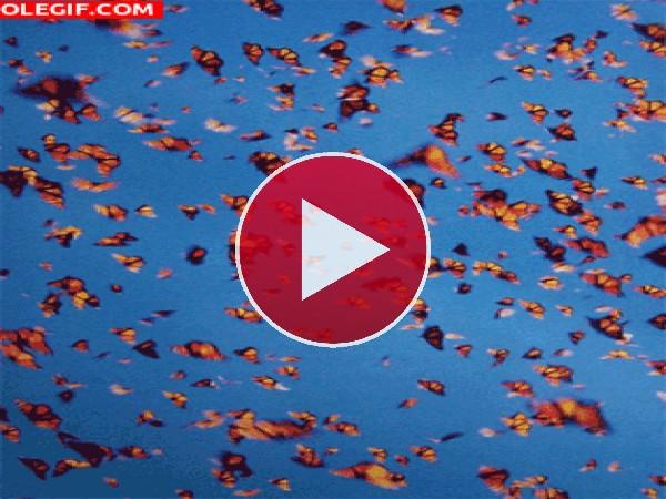 GIF: Mariposas Monarca en el cielo