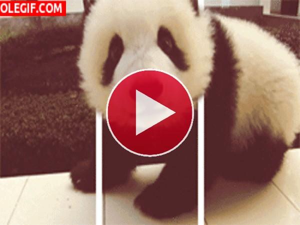 Mira al pequeño oso panda