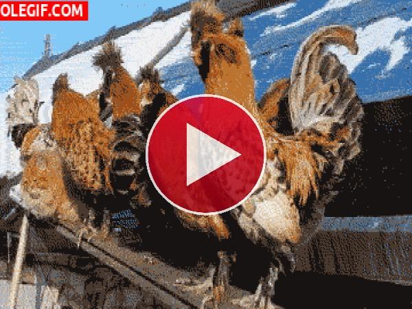 Mira al gato camuflado entre las gallinas