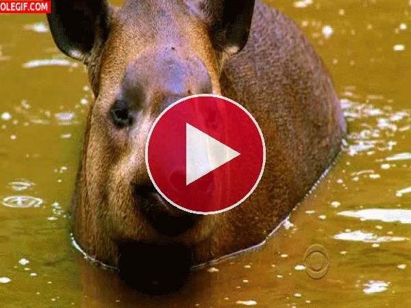 Mira cómo levanta el hocico el tapir