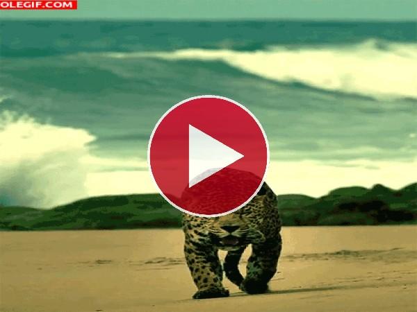 Mira al leopardo caminando por la playa