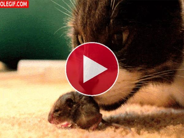 GIF: Mira a este gato olisqueando al ratón