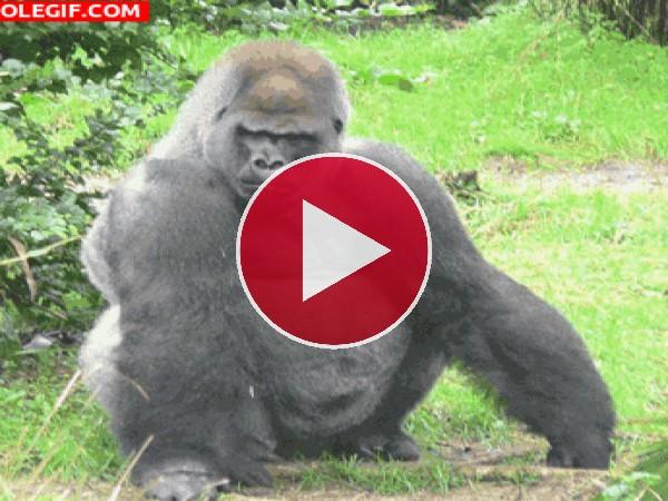 GIF: Gorila