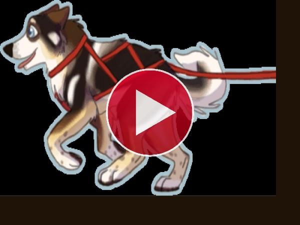 Husky corriendo