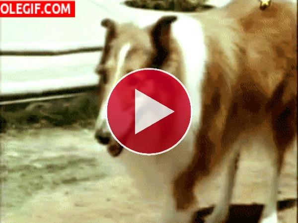 GIF: Lassie