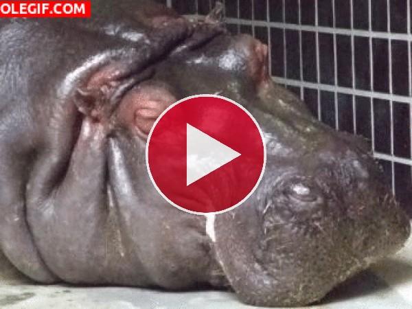 Hipopótamo te mira