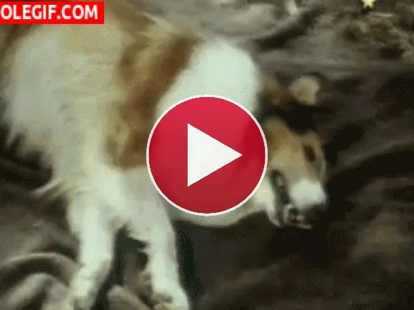 GIF: La perra Lassie
